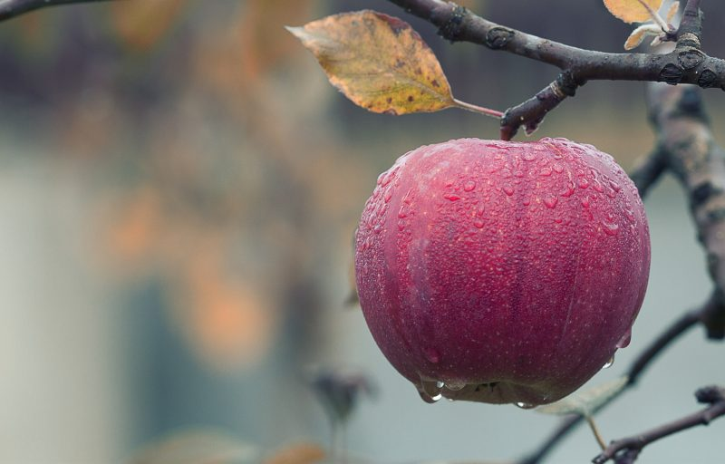 a red apple hangs from a tree branch covered in water droplets with a yellowing leaf above